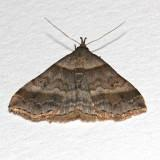 8447, Hypena madefactalis, Gray-edged Snout