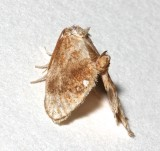 4659, Packardia germinate, Jeweled Tailed Slug Moth
