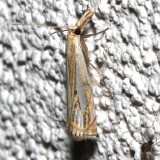 5362, Crambus agitatellus, Double-banded Grass veneer