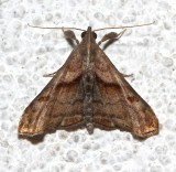 8397, Dark-spotted Palthus, female