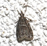 4719, Scoparia basalis