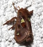 4697, Spiny Oak-Slug Moth