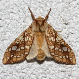 8211, Hickory Tussock Moth