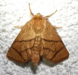 4665, Lithacodes fasciola, Yellow-shouldered Slug Moth