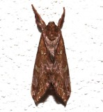 0022, Sthenopis auratus, Gold-spotted Ghost Moth