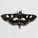 5160, Desmia maculalis, White-headed Grape Leafroller