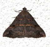 8452, Hypena edictalis, Large Snout, dark form