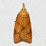 3720 Cenopis reticulatana, Reticulated Fruit Worm Moth