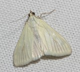 4986.1, Sitochroa palealis, Greenish-yellow Sitochroa Moth