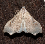 8401, Redectis vitrea, White-spotted Redectis