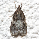4718, Scoparia cineromedia