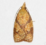 3720, Cenopis reticulatana, Reticulated Fruitworm Moth