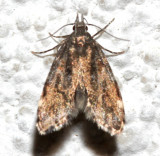 1068, Eido trimaculata, Three-spotted Concealer Moth
