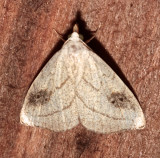 8404, Rivula propinqualis, Spotted Grass Moth