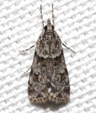 4716, Scoparia biplagialis, Double-striped Scoparia