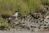 Gallery Spur-winged Plover