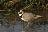 Gallery Little Ringed Plover