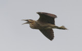 Algemene vogels in Nederland