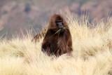 0865 Gelada Baboon.jpg