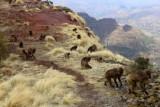 0898 Baboons Sankober.jpg