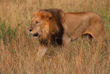 2773 Male Lion Maasai.jpg