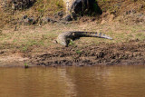 2992 Crocodile Mara River.jpg