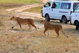 3058 Stalking female lions.jpg