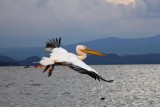 3277 pelican in flight.jpg