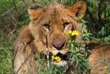 3618 Injured Lion Nakuru.jpg
