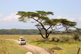 3663 Umbrella tree Nakuru.jpg