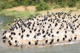 4761 Cormorants Kozinga channel.jpg