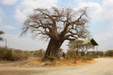 6245 Baobab Tree Tarengire.jpg