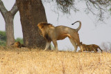 6307 Lion stretching Tarangire.jpg