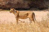 6384 Female Lion Tarangire.jpg