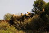 2808 Lions on ridge.jpg