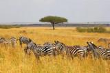 2873 Acacia and Zebra.jpg