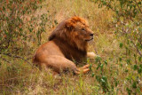 2915 Male Lion Maasai.jpg
