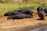 2953 Hippos Mara River.jpg