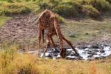 3022 Drinking Giraffe.jpg