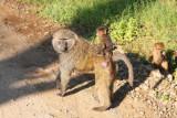 3525 Baboons Nakuru.jpg
