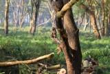 3526 Baboons Nakuru.jpg