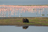 3532 Buffalo and flamingos.jpg