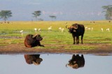 3541 Buffalo reflections.jpg