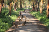 3561 Baboons Nakuru.jpg