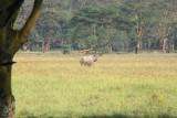 3562 Black Rhino Nakuru.jpg
