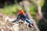 3623 Gama Lizard.jpg