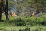 3674 Distant Giraffes.jpg