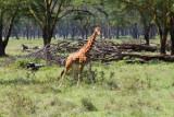 3712 Giraffe Nakuru.jpg