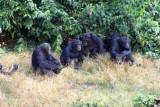 4198 Chimps Ngamba Island.jpg
