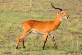 4571 Impala QE Nat Park.jpg